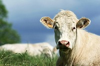 White cow in pasture, close-up