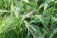 Unripe wheat growing in field, close-up