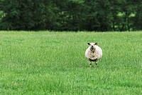 Solitary sheep in field