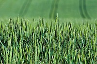 Green wheat growing in field, close-up