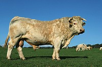 White bull, side view