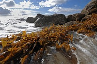 Giant brown kelp washed up on beach, Deer Creek, California, USA