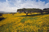 Acacia tree and yellow Meskel flowers in bloom after the rains, Green fertile fields, Ethiopian Highlands near the Simien mountains and Gonder, Ethiop...