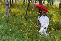 Ethiopian woman holding a red umbrella in a fertile green field of Eucalyptus trees and blooming yellow Meskel flowers, The Ethiopian Highlands, Ethio...