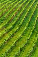 Vineyards near San Gimignano, Tuscany, Italy, Europe