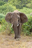 African Elephant walking through the bush, Tanzania