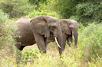 African Elephants walking through the bush