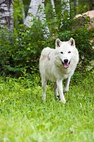 Adult wolf in forest Minnesota Spring Captive