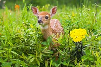 Closeup of baby white_tailed deer standing in wildflowers Minnesota Spring Captive