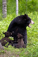 Mother black bear nursing spring cubs in forest Minnesota Captive