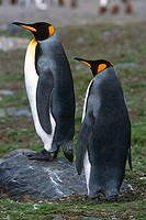 Closeup of pair of King Penguins on tundra South Georgia Island Antarctic Summer