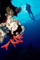 Coral reef and diver, off Sharm el Sheikh, Sinai, Red Sea, Egypt, North Africa, Africa