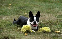 Boston Terrier with a training dummy in a field