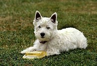 West Highland White Terrier sitting in a field with a plastic disc