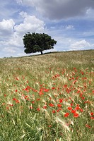 Spring poppies and lone tree, Andalucia, Spain, Europe