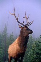 Bull Elk in early morning fog profile Yellowstone National Park Wyoming USA Autumn