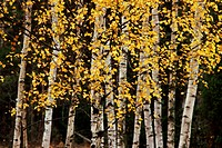 Björkar, Höst, Close_Up Of Birch Trees, Mid Section