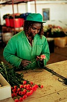 Blomsterodling I Naivasha Kenya, Woman Doing Flower Cultivation
