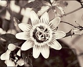 Passionsblomma, närbild. Close_Up Of Passion Fruit Flower B/W