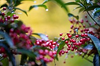 A tree with red berries and dew drops, Suzan, Shizuoka Prefecture, Japan