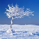 Träd i vinterlandskap, Öland. Snowcapped Tree In Winter Landscape, Öland, Sweden