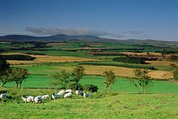 Sheep and fields with Cheviot Hills in the distance, Northumbria Northumberland, England, UK, Europe