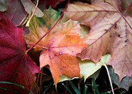 Lönnlöv Vid Brunn, Close_Up Of Fall Leaf