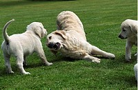 Lekande Valpar, Puppies With Elder Dog Playing Together On Field, Close_Up