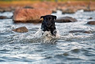 Labrador, Full Fart I Vatten, Dog Running In Water