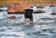 Labrador, Full Fart I Vatten, Dog Running In Water