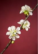 Körsbärsblom Mot Röd Bakgrund Flower, Close_Up
