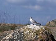 Fågel sitter på en klippa Bird Sitting On Rock