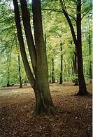 Bokar i en bokskog. Beechwood Trees In Forest