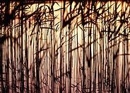 Vass I Solnedgång, Reeds At Dusk, Full Frame