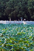 Visitors walking across a lake of lily pads at Zizhuyuan Black Bamboo Park, Beijing, China, Asia