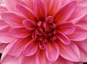 Dahlia, Pink Dahlia, close_up