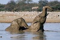 African elephants, Loxodonta africana, bathing, Etosha National Park, Namibia, Africa