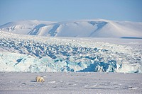Polar bear in front of the glacier, Billefjord, Svalbard, Spitzbergen, Arctic, Norway,Scandinavia, Europe