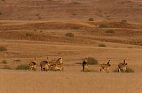 Hartmann´ s Mountain Zebra, Equus zebra hartmannae, Damaraland, Namibia