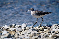 Solitary sandpiper Tringa solitaria, Katmai National Park and Preserve, Alaska, United States of America, North America