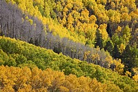 Fall colors of aspens with evergreens, near Ouray, Colorado, Uninted States of America, North America
