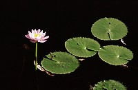Water lily, Caranbirini Conservation Reserve, Queensland, Australia, Pacific