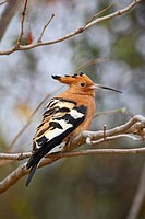 African hoopoe Upupa africana, Kruger National Park, South Africa, Africa