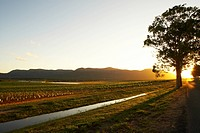 Sunset at Vineyard, Hunter Valley, Australia