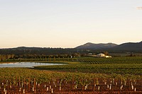 Vineyard in Hunter Valley, Australia (thumbnail)