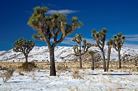 Rare winter snowfall, Lost Horse Valley, Joshua Tree National Park, California, United States of America, North America