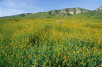CA510H Fiddlenecks to Elkhorn Hills, Carrizo Plain National Monument, CA
