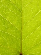 Close_up of green leaf, full frame ett grönt blad