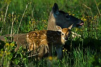10855623, White_tailed deer, Odocoileus virginianu