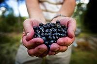 Två Kupade Händer Fyllda Med Nyplockade Blåbär, Close_Up Of Man Holding Blueberries